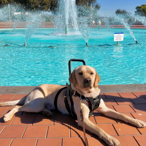 little-angels-service-dogs-mobility-assistance-dog-full