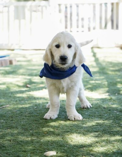 little-angels-service-dogs-dogs-in-training-dwight-profile-updated