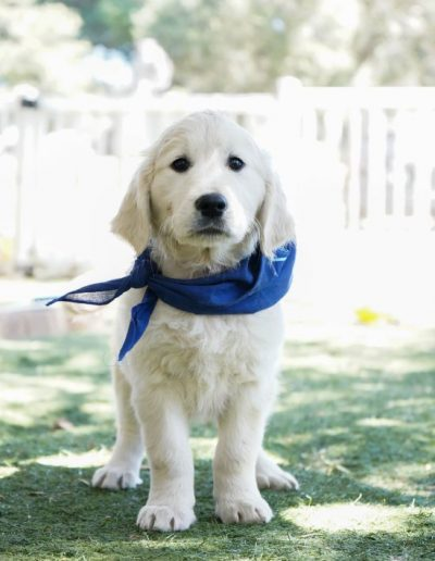 little-angels-service-dogs-dogs-in-training-kelly-profile