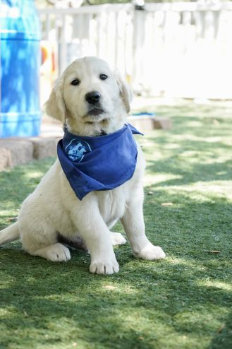 little-angels-service-dogs-dogs-in-training-kevin-profile