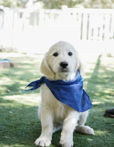 little-angels-service-dogs-dogs-in-training-oscar-profile-updated