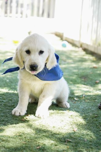 little-angels-service-dogs-dogs-in-training-pam-profile