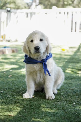 little-angels-service-dogs-dogs-in-training-stanley-profile