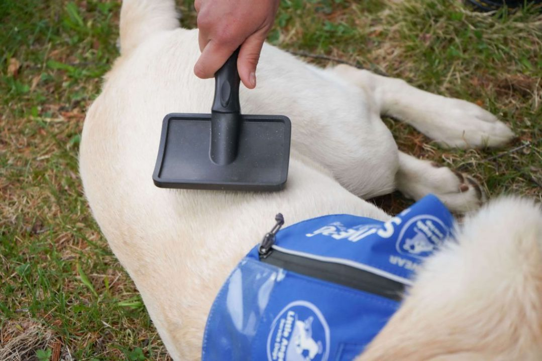 volunteer with little angels service dogs
