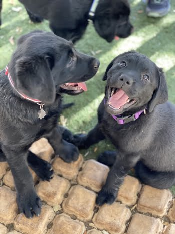 little-angels-service-dogs-our-dogs-breeding-program-black-lab-puppies
