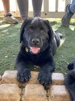 little-angels-service-dogs-our-dogs-breeding-program-black-lab-puppy-with-people