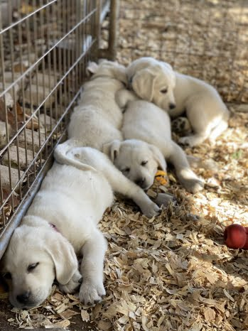little-angels-service-dogs-our-dogs-breeding-program-puppies-sleeping