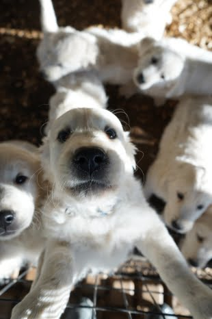 little-angels-service-dogs-our-dogs-our-breeding-program-puppy-pen